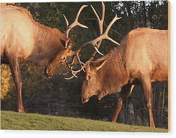 Two Bull Elk Sparring 91 Wood Print by James BO  Insogna