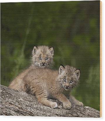 Two Canada Lynx Lynx Canadensis Kittens Wood Print by Richard Wear