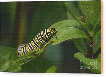 Wood Print featuring the photograph Two Caterpillars by Steve Augustin