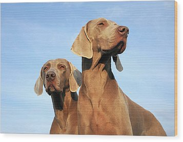 Two Dogs, Weimaraner Wood Print by Werner Schnell