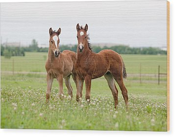 Two Foals Standing Wood Print