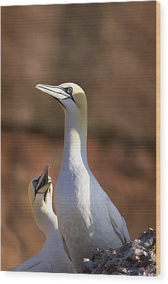Two Gannets Interacting Perce, Quebec Wood Print by Richard Wear