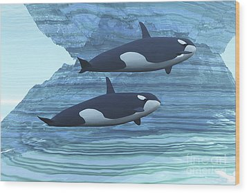 Two Killer Whales Swim Around Submerged Wood Print by Corey Ford