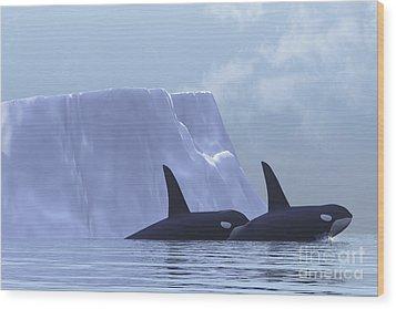 Two Killer Whales Swim Near An Iceberg Wood Print by Corey Ford