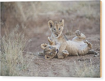 Two Male Lion Cubs Wrestle On The Trail Wood Print by Mark C. Ross