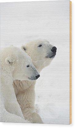 Two Polar Bears Ursus Maritimus Showing Wood Print by Richard Wear