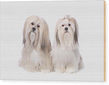 Two White Lhasa Apso Puppies St. Albert Wood Print by Corey Hochachka