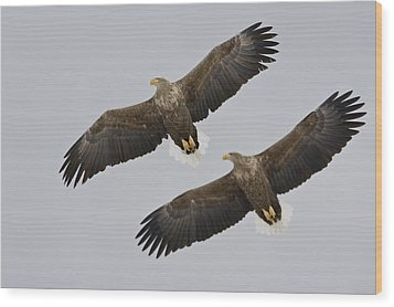 Two White-tailed Eagles In Flight Side Wood Print by Roy Toft