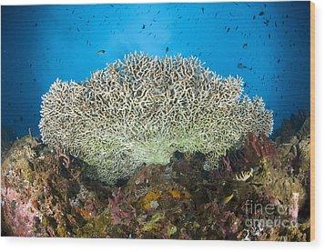 Underside Of A Table Coral, Papua New Wood Print by Steve Jones