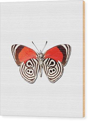 Underside Of The Meadow Wanderers Butterfly Wood Print by MajchrzakMorel