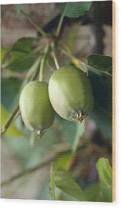 Unripe Royal Gala Apples Growing Wood Print by Jason Edwards