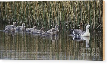 Wood Print featuring the photograph Upland Geese - Patagonia by Craig Lovell