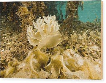 Upsidedown Jellyfish In Mangrove Lagoon Wood Print by Tim Laman