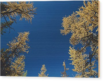 Upward View Of Blue Sky And Conifer Wood Print by Raymond Gehman