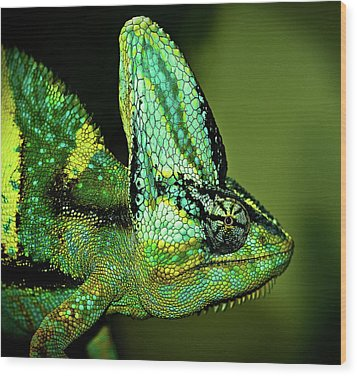 Veiled Chameleon Wood Print by Copyright By D.teil
