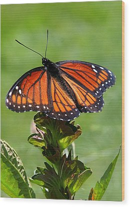 Viceroy Butterfly Number Two Wood Print by Paula Tohline Calhoun
