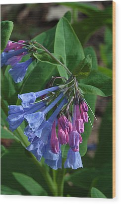 Wood Print featuring the photograph Virginia Bluebells by Daniel Reed