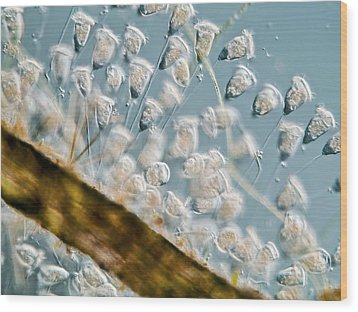 Vorticella Protozoa, Light Micrograph Wood Print by Gerd Guenther