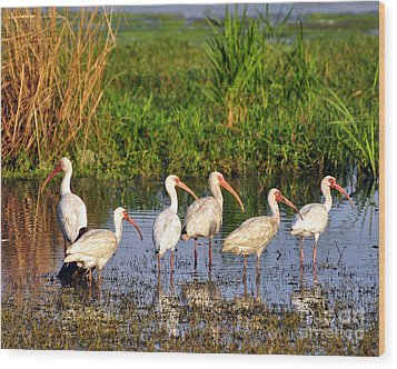Wading Ibises Wood Print by Al Powell Photography USA