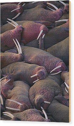 Walruses On The Beach Wood Print by Joel Sartore