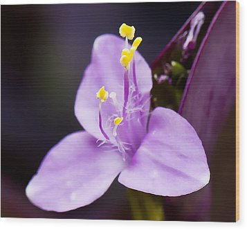 Wandering Jew  Beauty's Queen  Wood Print by Michael Putnam