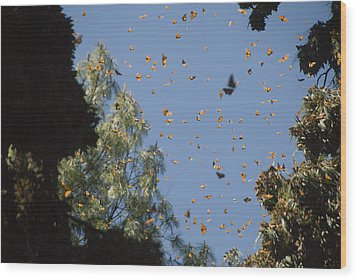 Warmed By The Sun, Thousands Of Monarch Wood Print by Annie Griffiths