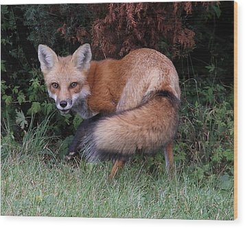 Wary Fox Wood Print