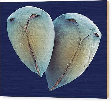 Water Fleas, Sem Wood Print by Steve Gschmeissner