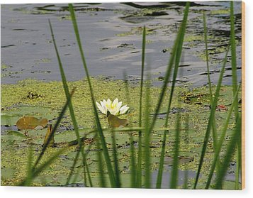 Water Lily On The River Wood Print