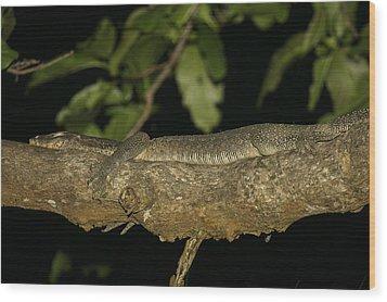 Water Monitor Lizard Sleeping On Branch Wood Print by Tim Laman