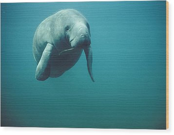 West Indian Manatee Trichechus Manatus Wood Print by Tui De Roy