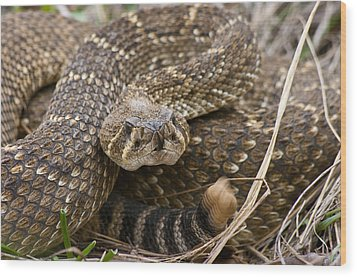 Western Diamondback Rattlesnake - 4665 Wood Print