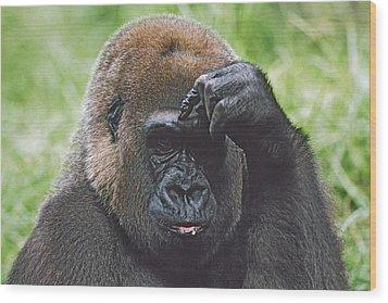 Western Gorilla Portrait With Finger On Wood Print by David Ponton