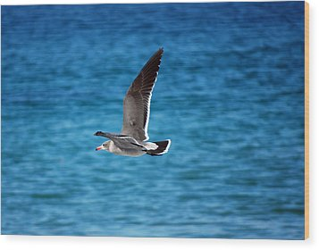 Western Gull In Flight Wood Print by Harvey Barrison