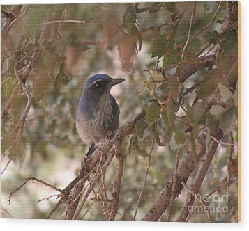Western Scrub Jay Wood Print by Chris Hill