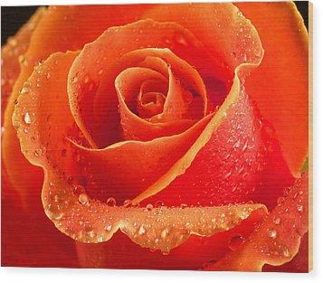 Wet Rose Wood Print