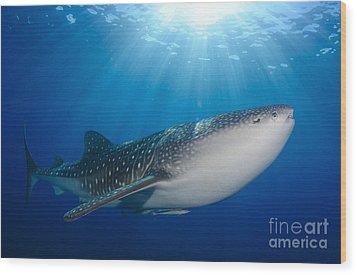 Whale Shark Feeding Under Fishing Wood Print by Steve Jones