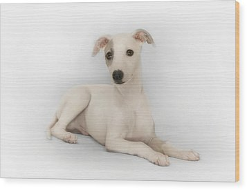Whippet Puppy Wood Print by John Clum
