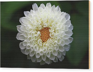 White Beautiful  Dahlia Wood Print by Photography by Dalang5