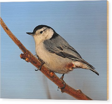 White-breasted Nuthatch Wood Print by Tony Beck
