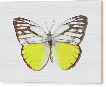 White Butterfly Of Indonesia Wood Print by MajchrzakMorel