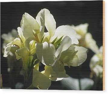 White Canna Lily Wood Print by Alfred Ng