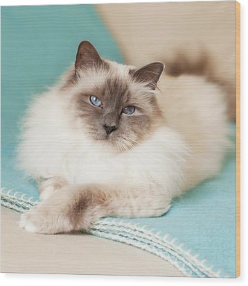 White Cat On Blue Blanket Wood Print by MariaR