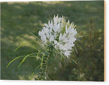 White Cleome Wood Print by Michael Bessler