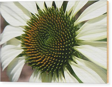 White Coneflower Daisy Wood Print by Donna Corless