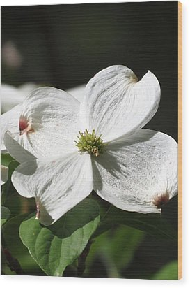 White Dogwood Wood Print