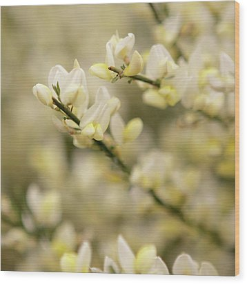 White Fragrant Flower Close Up Wood Print by by Samia Mohammed