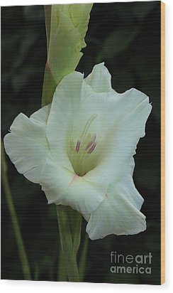 White Gladiolus Wood Print by Marjorie Imbeau