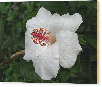 Wood Print featuring the photograph White Hibiscus by Carol Sweetwood