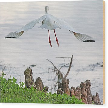 White Ibis Liftoff Wood Print by Becky Lodes